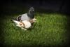 ベランダから巣立ってもらう~鳩の被害を防ぐために~