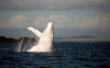 【★☆超希少種☆★】白鯨の海面からのジャンプ!まさにモビーディック コレを見れたら感動でしょう