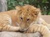 【動画アリ】トラとライオンのハーフ『ライガー』