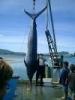【画像】巨大魚画像まとめ【世界は広い】