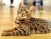 ベンガル猫の育て方についてのまとめ