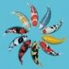色鮮やかな錦鯉の魅力