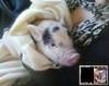 """【画像】私はこの豚を、""""ミニブタ"""" と聞いて買ったのですが"""